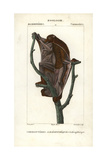 Sunda Flying Lemur From Frederic Cuvier's Dictionary of Natural Science: Mammals  Paris  1816