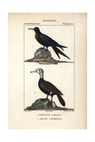 Frigatebird And Cormorant From Sainte-Croix's Dictionary of Natural Science: Ornithology