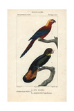 Cuban Red Macaw And Black Cockatoo From Sainte-Croix's Dictionary of Natural Science: Ornithology