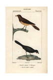 Oxpecker And Kokako From Sainte-Croix's Dictionary of Natural Science: Ornithology