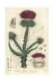 Cotton Thistle  on opordum Acanthium  From Baxter's British Phaenogamous Botany  Oxford  1838