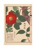 Crimson Japanese Camellia Yama Tsubaki (mountain Camellia)