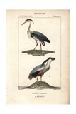 Grey Heron And Boat-billed Heron From Sainte-Croix's Dictionary of Natural Science: Ornithology