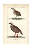Rain Qual And Red-legged Partridge From Sainte-Croix's Dictionary of Natural Science: Ornithology