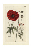 "Corn Poppy  Papaver Rhoeas  From Pierre Bulliard's ""Flora Parisiensis "" 1776  Paris"
