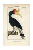 Rhinoceros Hornbill From Sainte-Croix's Dictionary of Natural Science: Ornithology