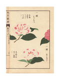 Pink And White Camellias Ariake And Hagoromo
