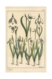 Botanical Illustration of a Snowdrop  Galanthus Nivalis
