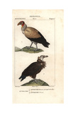 King Vulture  Sarcoramphus Papa  And Griffon Vulture  Gyps Fulvus
