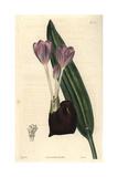 Crocus-flowered Meadow-saffron Colchicum Crociflorum