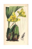 Large-bulbed Maxillaria Orchid  Maxillaria Macrobulbon