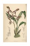 Catasetum Garnettianum  Orchid Native To the Amazon River