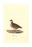 Red-legged Or Guernsey Partridge  Alectoris Rufa