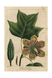 Poplar Or Tulip Tree From Michaux's North American Sylva  1857