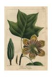 Poplar Or Tulip Tree From Michaux's North American Sylva  1857