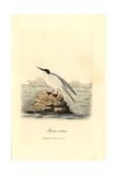 Roseate Tern  Sterna Dougallii