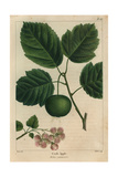 Garland Crab Tree From Michaux's North American Sylva  1857