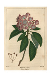 Mountain Laurel Tree From Michaux's North American Sylva  1857