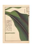 Leaf of Round Turmeric
