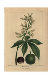 Ohio Buckeye Tree From Michaux's North American Sylva  1857