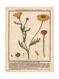 Corn Marigold Or Corn Daisy  Chrysanthemum Segetum