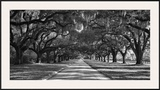 Live Oaks Along Road