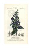 Nettle-leaved Bellflower  Campanula Trachelium