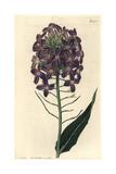 Large-flowered Dame's Violet Hesperis Grandiflora