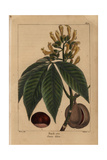 Large Buckeye Tree From Michaux's North American Sylva  1857