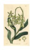 Mrs Harrison's Epidendrum Orchid  Epidendrum Harrisoniae