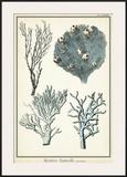 Oversize Coral Species II