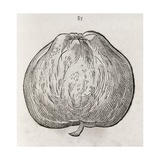 Apple  16th Century