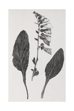 Foxglove  19th Century Artwork