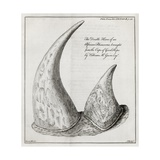 African Rhinoceros Horns  18th Century