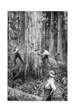 Plantation Forestry  19th Century