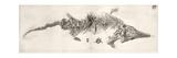 Ichthyosaur Skeleton Engraving 1819 Home