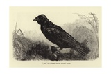 Grip  the Late Charles Dickens' Raven