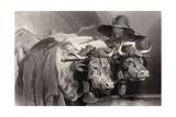 Oxen at the Tank  Geneva  Switzerland
