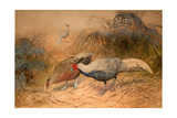 Lineated Kaleege (Euplpcamus Lineatus)  C1851-76