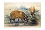 The Red-River Hog  1865