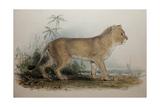 Maneless Lion of Guzerat  1835