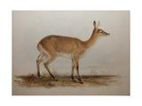 Red Lechwe  1836