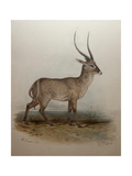 Bohor Reedbuck  1834