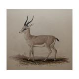 Antelope  1834