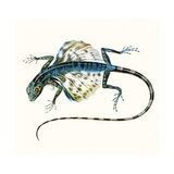 Illustration of the Gliding Lizard - Draco Volans 1831