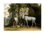 The Koodoo  1804