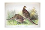 Phasianus Ussuriensis and Phasianus Delocllatus  1906-7