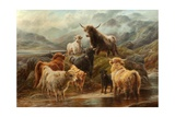 Highland Cattle  1894