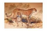 Cheetah  1851-52
