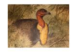 Brush Turkey (Talegalla Lathami)  C1851-76